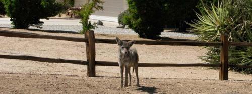 coyote_01